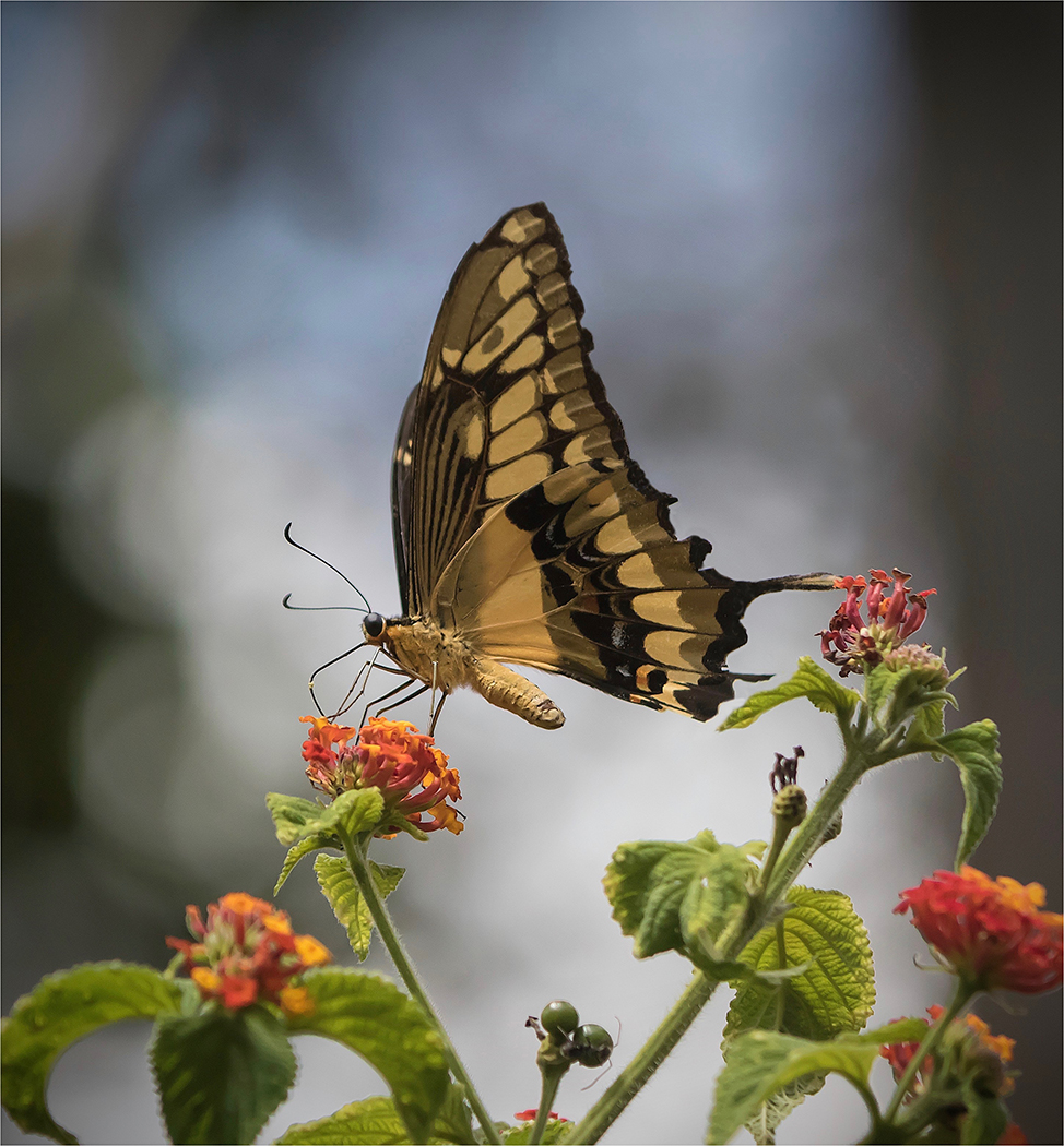 Queen Swallow Tail Butterfly Trinidad