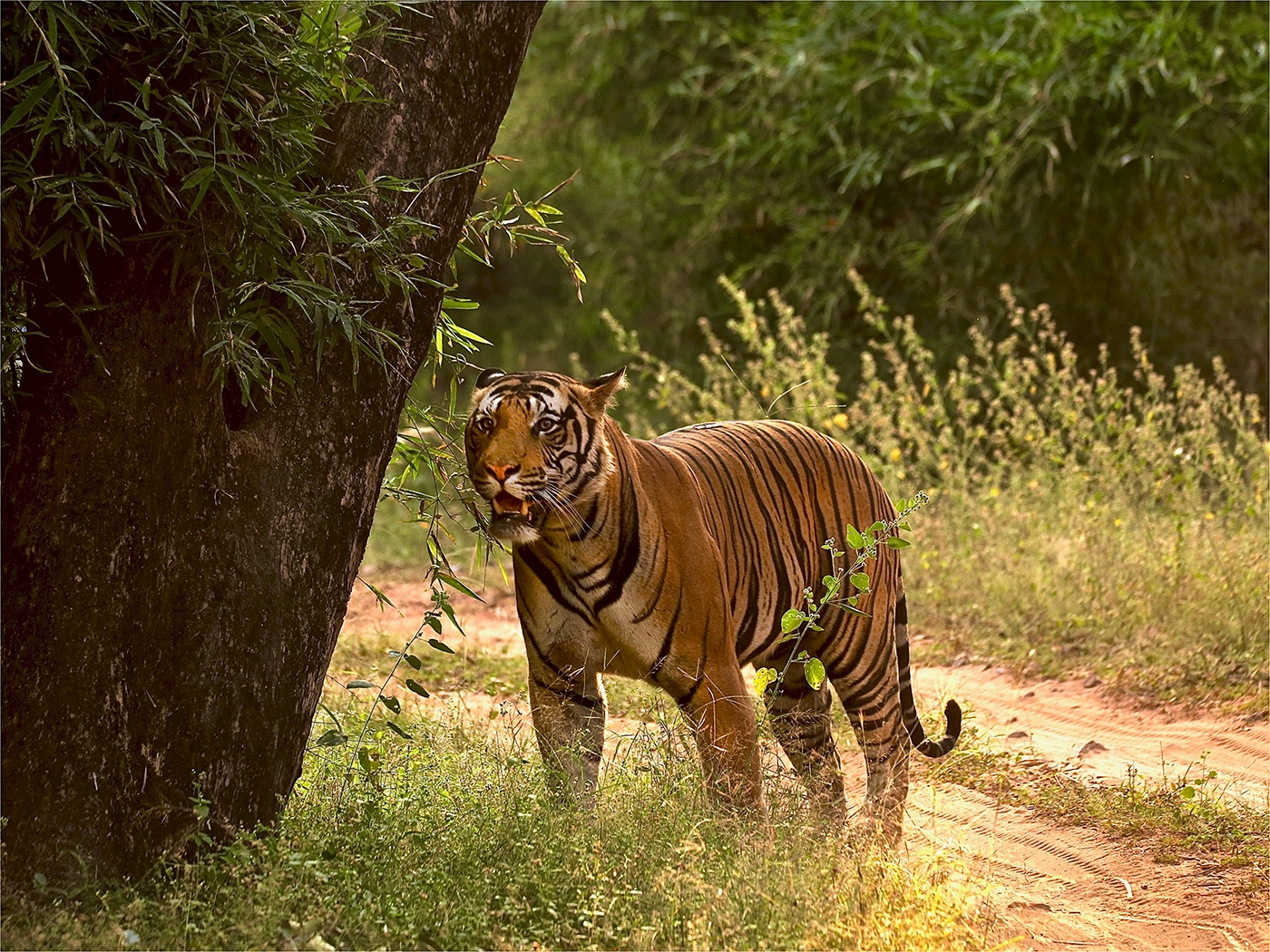 Female Tiger Picking Up A Scent
