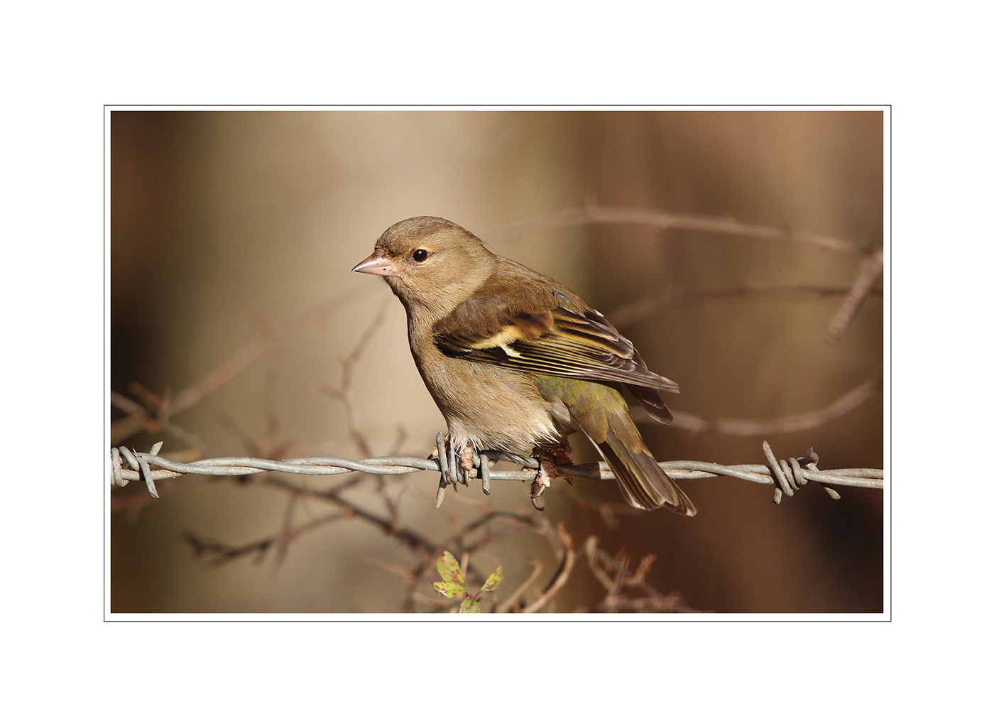 Female Chaffinch by Dawn Tierney
