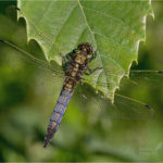 Black-Tailed Skimmer Dragonfly (Orthetrum cancellatum)