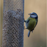 Blue Tit Taking Seed From A Feeder