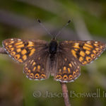 Duke of Burgundy (Hamearis lucina)