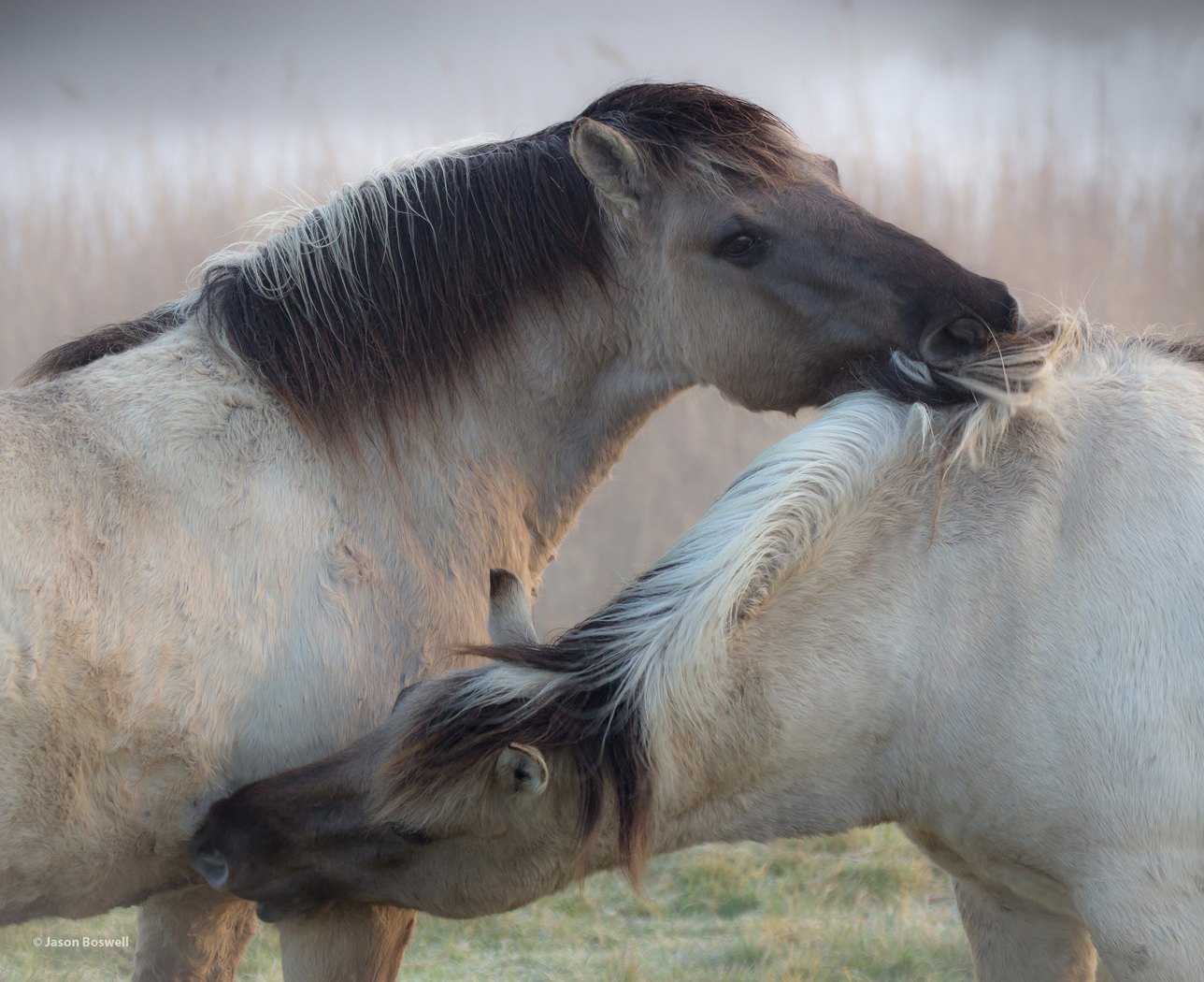 Konik Ponies You scratch my back and I'll scratch yours