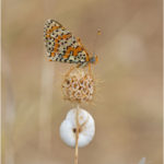 Spotted Fritillary Butterfly & Snail