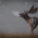 The lone fallow stag