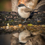 1st Place - Marsh Tit Reflected by Ian Miller