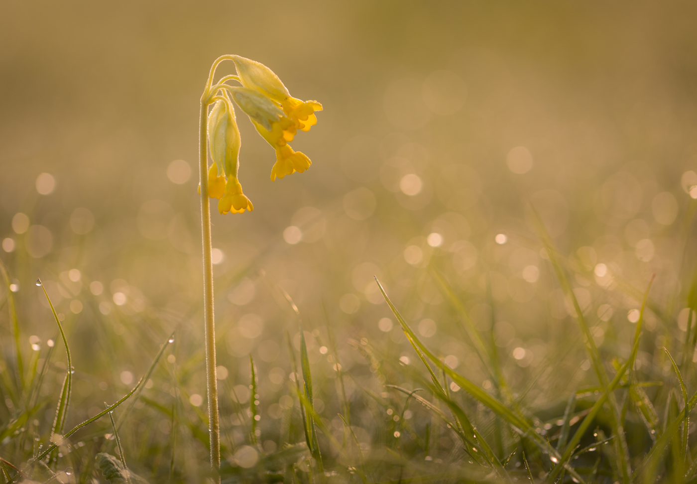 1st Place - Cowslip (Primula veris) by Jason Boswell