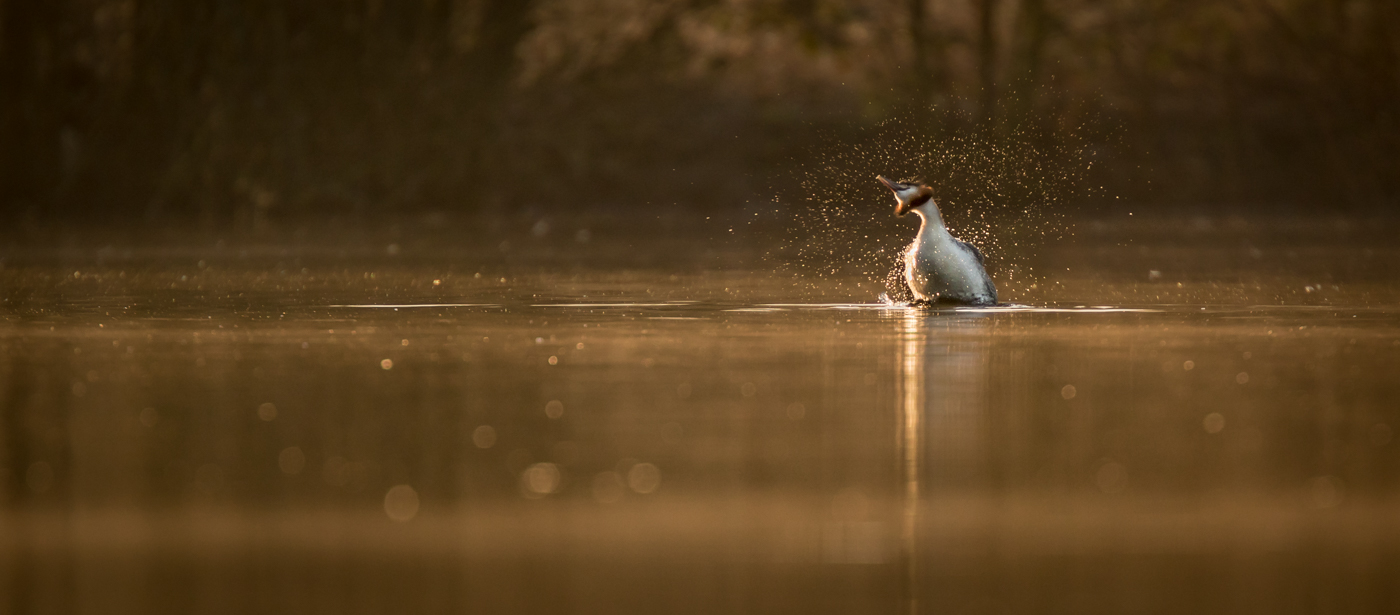 2nd Place - Great crested grebe (Podiceps cristatus) shaking off by Jason Boswell