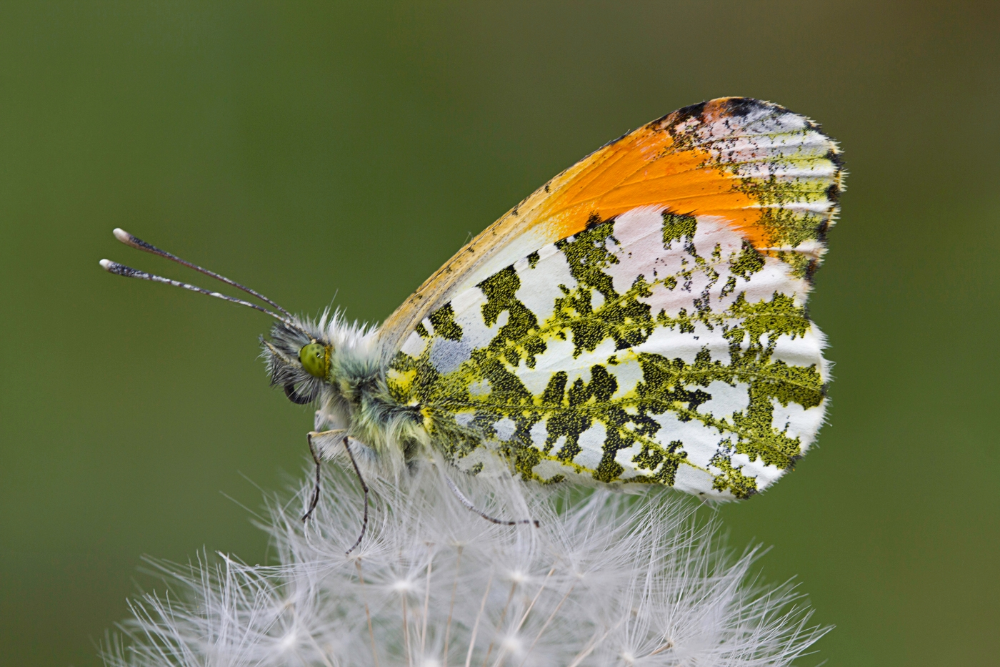 3rd Place - Orange Tip Butterfly (Anthocharis cardamines) on Dandelion by Jackie Kirby