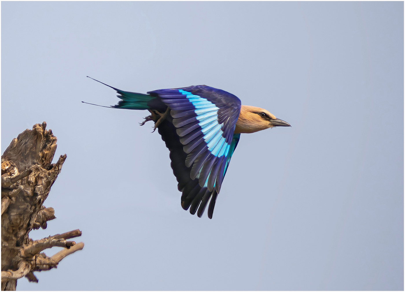 2nd Place - Blue-Bellied Roller (Coracias cyanogaster) East Africa by Roger Parker