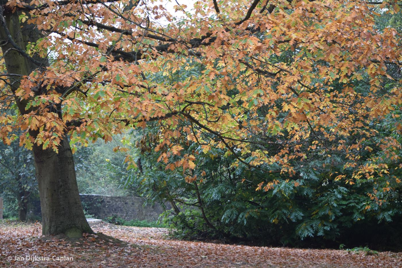 Mote Park's Autumn Leaves