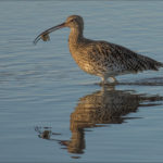 Curlew by Sue Purveur - 20