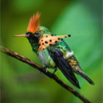 Tufted Coquette Male (Lophoris ornata) by Roger Parker - 19