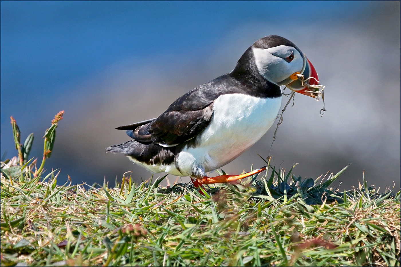 2nd Place - Puffin With Nesting Material by John Butler
