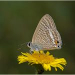 Long Tailed Blue Butterfly (Lampides boeticus) by Peter Kirby - 17