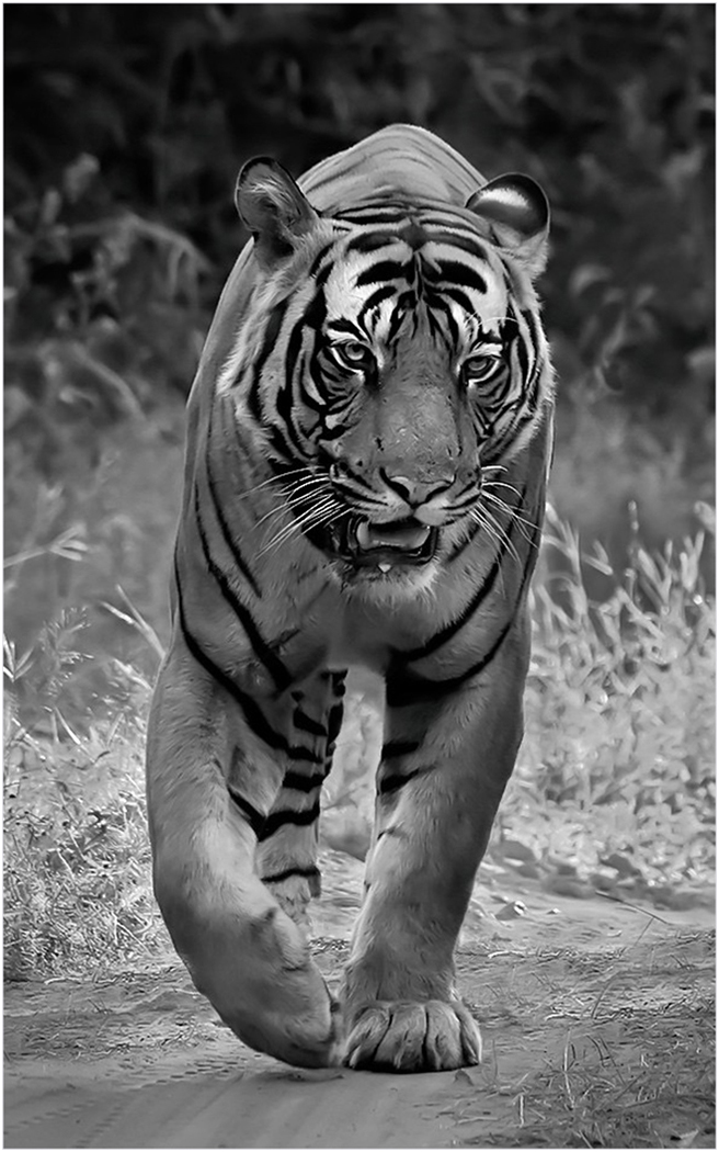 Male Bengal Tiger by Roger Parker - 17