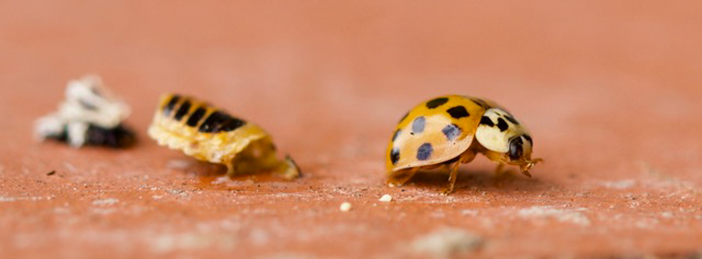2nd Place - Ladybird just emerged from its larvae by Stella Gould