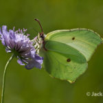 Brimstone Butterfly (Gonepteryx rhamni) on Scabious