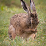 Brown Hare washing