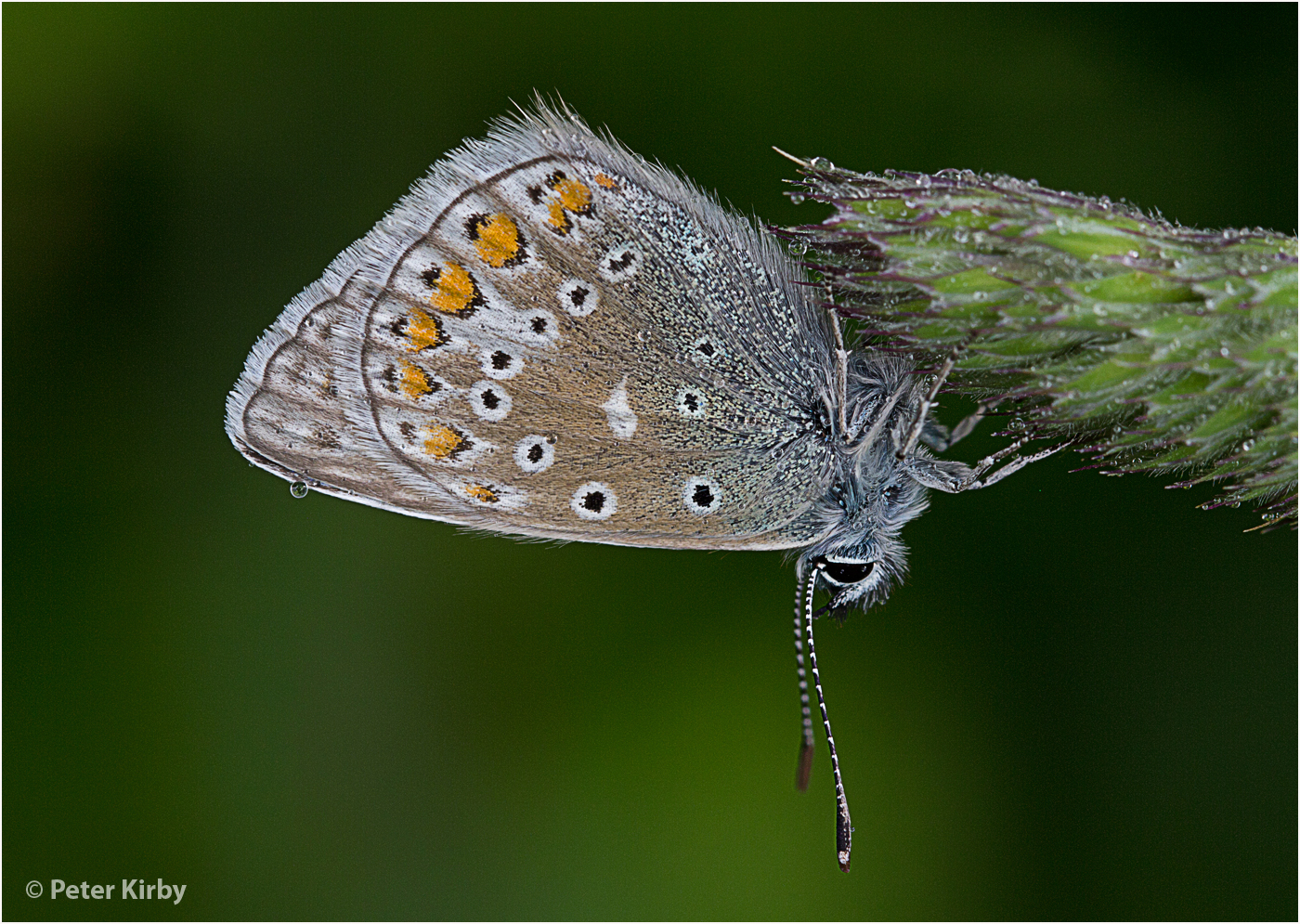 Common Blue (Polyommatus icarus) at rest