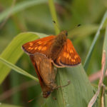 Large Skipper (Ochlodes sylvanus) Mating Pair