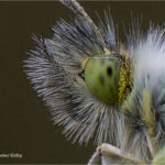 Orange Tip (Anthocharis cardamines) Eye