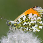 Orange Tip Butterfly on Dandeylion (Anthocharis cardamines)
