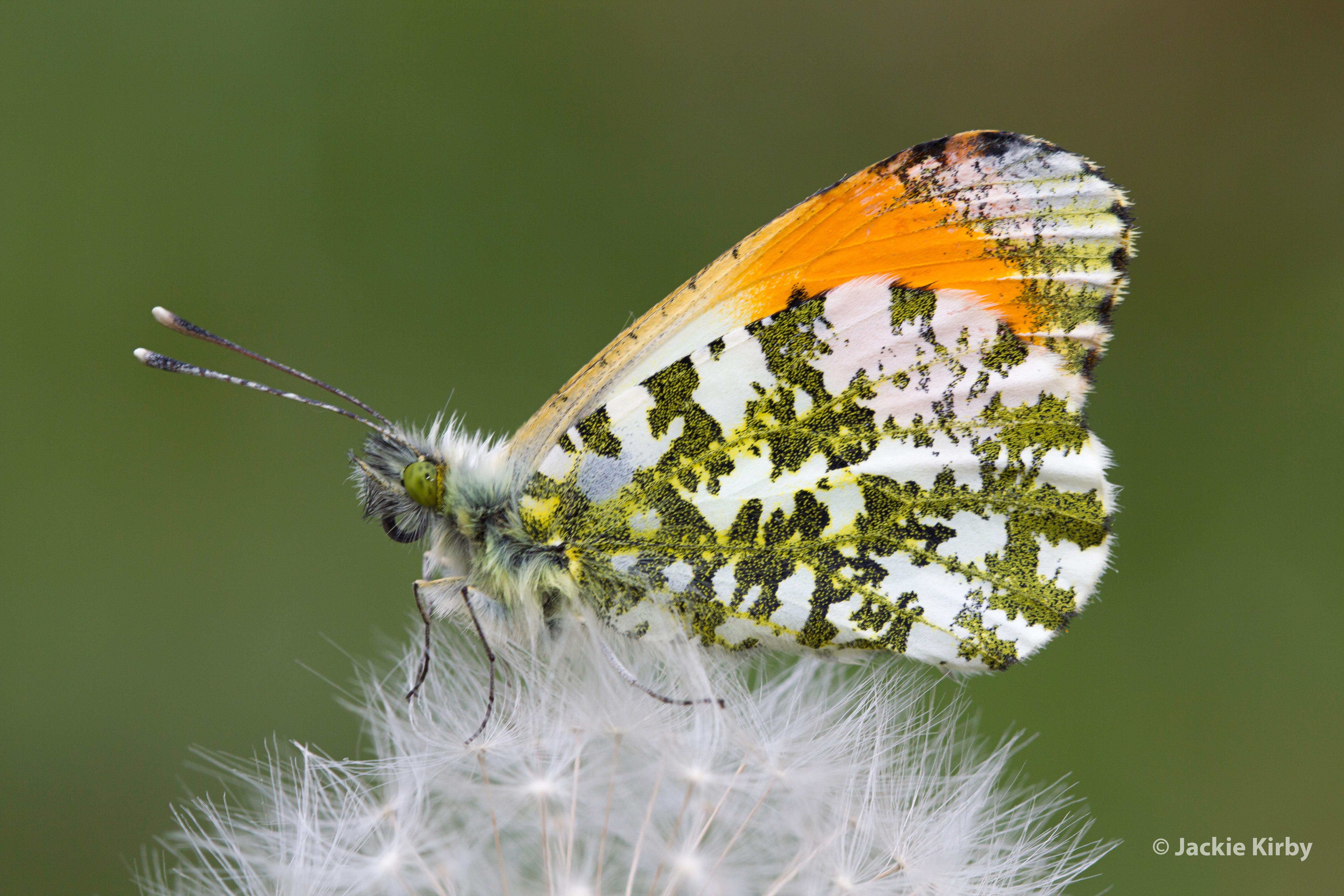 Orange Tip Butterfly on Dandeylion (Anthocharis cardamines)