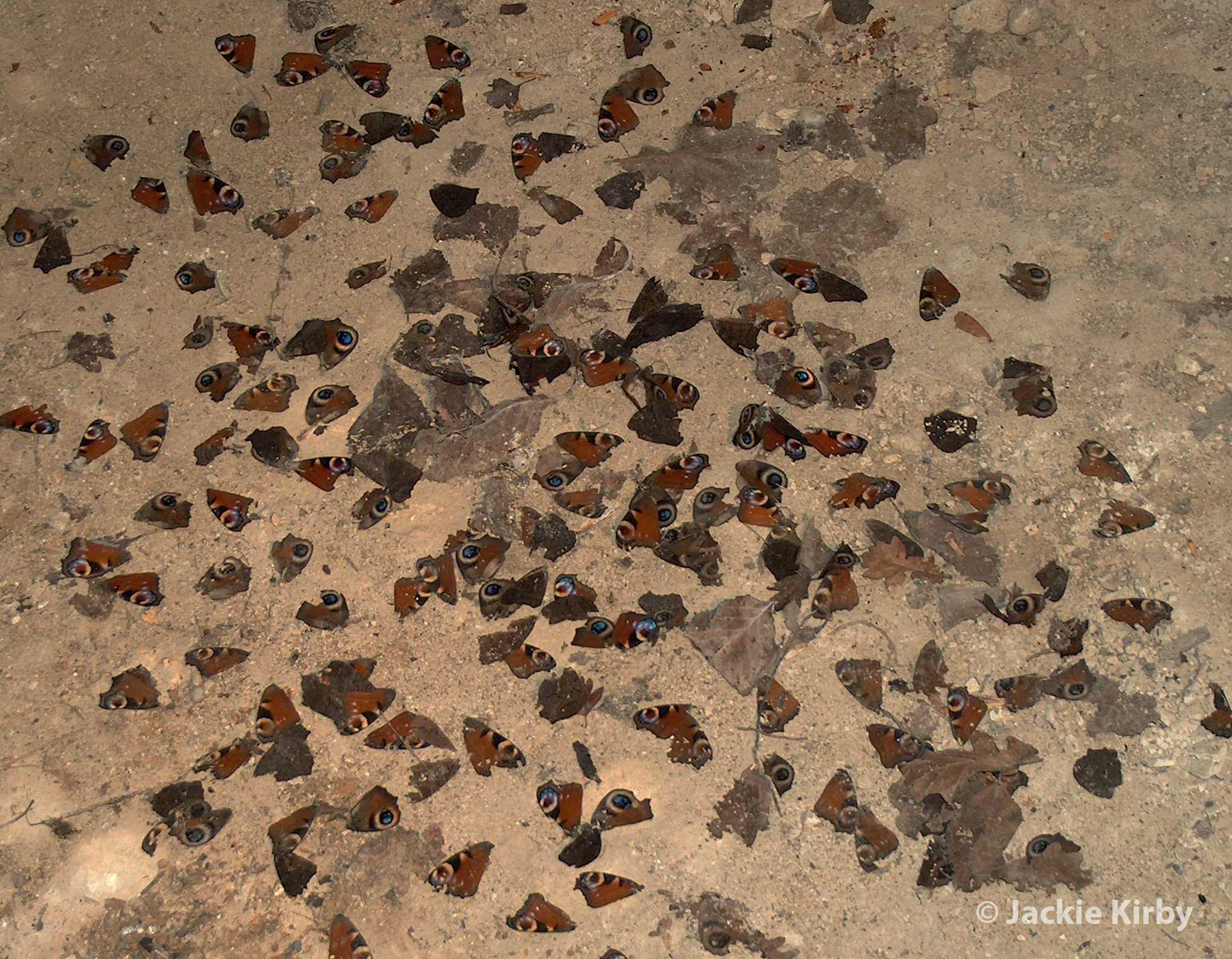 Peacock Butterfly Wings Following Bat Damage in Hibernation Site