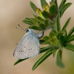 Small Blue (Cupido minimus) Butterfly Egg Laying On Kidney Vetch