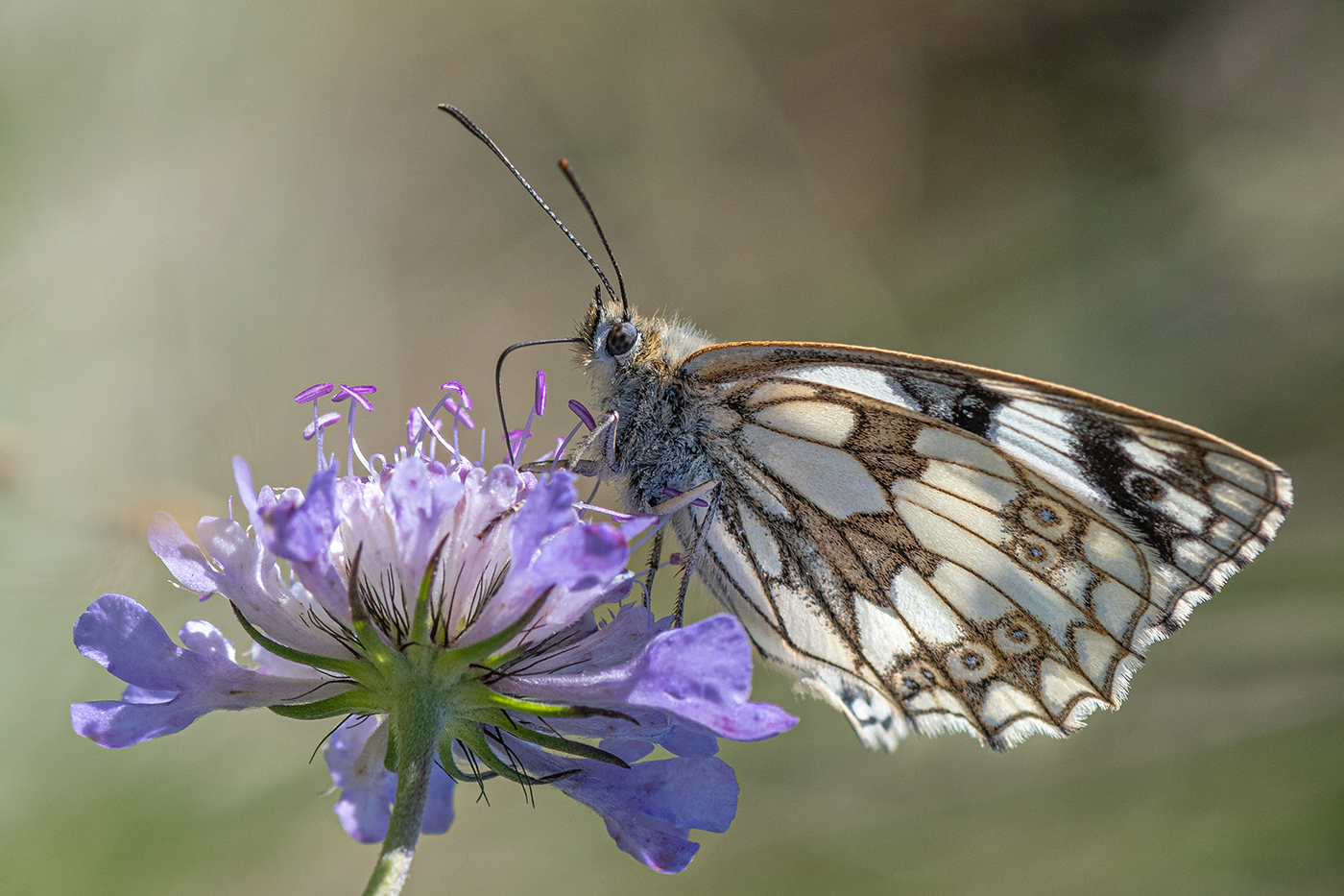 15 - Marbled White Butterfly