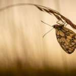 3rd Place - Marbled White at first light by Jason Boswell