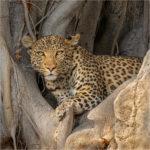 2nd Place - The Elusive Leopard Panthera (pardus pardus) by Heather Bailey