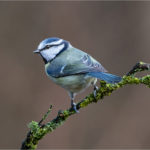 3rd Place - Blue Tit (Parus caeruleus) by Roger Parker