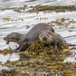 3rd Place - Otters Hunting on Isle of Mull by Heather Bailey