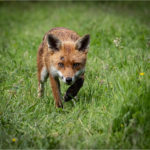 1st Place - Fox in the rain by Sue Istead